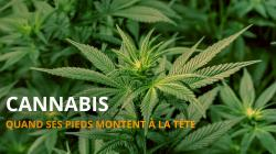 Alternatives recolter et faire secher son herbe cannabis